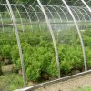Greenhouse Boxwood