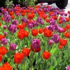 Commercial - seasonal-colortulips