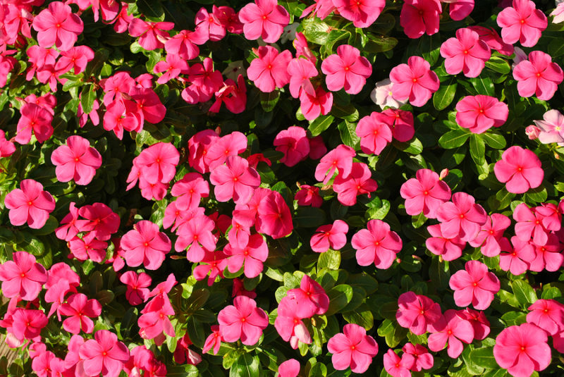 Busy lizzie Botanical name Impatiens Accent Violet flowers